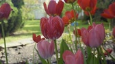 Клумба : Pink tulips on flowerbed