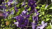 jardinagem : Beautiful purple flowers in the garden