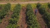 inspetor : Young girl walking at the strawberry field, aerial view