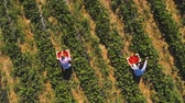 agribusiness : Two girls picking strawberries into a boxes at the field, drone view Stock Footage