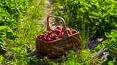 vime : Wicker basket full of strawberries at the strawberry field