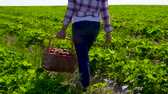 vime : Young girl hold wicker basket in hand walking among rows of strawberry bushes