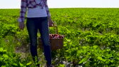 vime : Young woman carrying wicker basket full of strawberries at green field