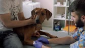 tourniquet : Professional vet puts the catheter to the dog Stock Footage