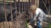 boar : Boy is feeding wild boar at the zoo