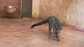 jako mramor : Wild marble cat walks in the zoo