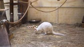 kanguru : White kangaroo is at the zoo