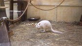 movimentar se : White kangaroo is at the zoo