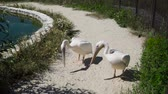 conservar : Pelicans are at the zoo