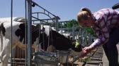 tele : Blond lady is feeding little calf at the farm