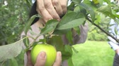 quintal : Adult woman plucks an apple in the garden Stock Footage