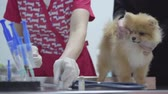 pomeranian spitz : Hands of unrecognizable nurse in colorful medical gown picks up the medicine in the syringe for vaccination small fluffy dog pomeranian spitz. Female owner caressing her pet, calming him Stock Footage