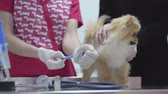 pomeranian spitz : Unrecognized mistress stroking her dog at the reception at the veterinarian at the reception in the veterinary clinic. A vet fills a syringe with vaccine. Stock Footage
