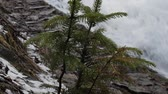 opuštěný : Branch of a young Christmas tree sway from the wind on the background of fast moving waterfall creating huge foam on river. Close up. Panoramic shooting and ambient sound. Original ambient sound.