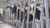 buzağı : Healthy young cows on outdoor milk farm with tags waiting for their feeding in spring day Stok Video