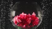 carbonated : Transparent round bowl with the artificial flowers inside under the water on the black background. Underwater beauty. Flower concept, floristics Stock Footage