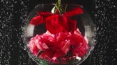 carbonated : Aquarium and red rose into the water with bubbles on black background. Fresh rose in sparkles water. Close-up.