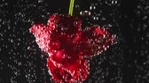 refrescar : Single red flower with bubbles on it under the water on the black background. Underwater beauty. Flower concept, floristics. Slow motion Vídeos