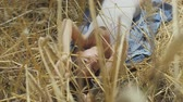 Cute woman wearing bodysuit with short hair lying on the wheat field. Girl enjoys nature looking and posing at the camera. Confident carefree girl outdoors. Real people series Stock Footage