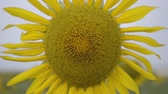 pólen : Close-up of bright yellow sunflower growing on the field. Connection with nature. Rural lifestyle. Nature beauty. Agriculture concept