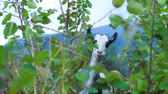hooi : Cute funny goat eating grass in the green meadow. Shooting from behind bushes. Wild nature. Livestock Stockvideo