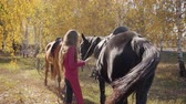 postroj : Young Caucasian brunette girl harnessing black horse in the autumn forest. Professional female equestrian looking after graceful animals outdoors. Dostupné videozáznamy