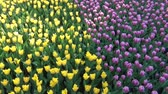 flower bed : Field of tulips dancing in the wind on a lovely spring day. Stock Footage