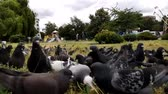 dlažba : A Flock of Pigeons Feeding On A Grassy Area Of A Park, london