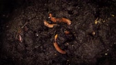 kir : Earthworms Burrowing In A Composting Soil