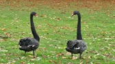 lago de los cisnes : A Pair Of Black Swans Archivo de Video