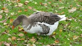 gęś : Goose Looking For Food And Eating Grass, Close Up Wideo