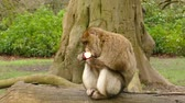 primát : Monkey Eating Apple Fruit - Barbary Macaques