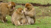 primát : Beautiful Family Of Young Monkeys Groom And Play - Barbary Macaques