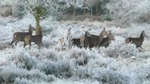 male animal : A Large Herd Of Deer In Winter. Stock Footage