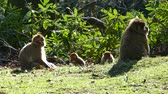 primát : Beautiful Family Of Young Monkeys Play - Barbary Macaques