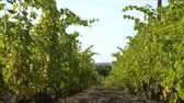 wijnbladeren : Vineyard Plantation System With Grape Vines And Plants Rows.