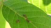invertebrates : Ants On The Leaves Stock Footage