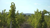 vinice : Bunches Of Grapes On Vines In Rows. Vineyard In Countryside.