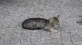 alley wall : Street Cat Lying In An Alleyway In turkey Stock Footage