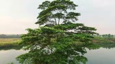 vadi : rising up over a tropical tree. Banten. Indonesia Stok Video