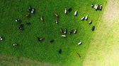 çim : Grazing Cattle On Pastures Aerial View Stok Video