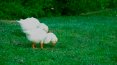 nature close up : best young geese graze grass Stock Footage
