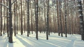 hoarfrost : winter forest panorama