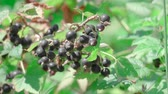 jardins : This stock video demonstrates a ripe black currant that grows on a large bush with green leaves.