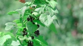 äste : This stock video demonstrates a ripe black currant that grows on a large bush with green leaves.