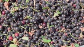 red currant : fresh harvest of black currant Stock Footage
