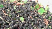 black currant : fresh harvest of black currant Stock Footage
