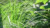 umidade : This stock video demonstrates the texture of grass that sways in the wind through the sun.
