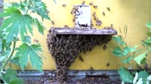 polinização : Honey bees infront of hive enterence