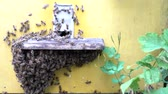 wosk : Honey bees infront of hive enterence